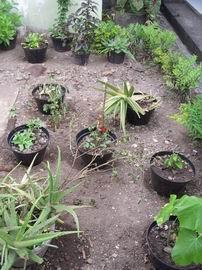 Koleksi Tanaman Herbal