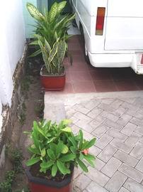Tanaman Hias di sudut parkiran Ambulan